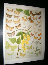 Kirby 1907 Deltiodae, Snouts, Orange Underwing Moths 44. Antique Print